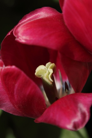 赤いチューリップ、フィールドの浅い深さの写真をクローズ アップ