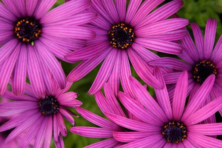 Photo of a group of purple daisies Stock Photo