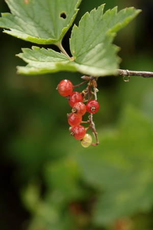 Cluster of red currant in the garden
