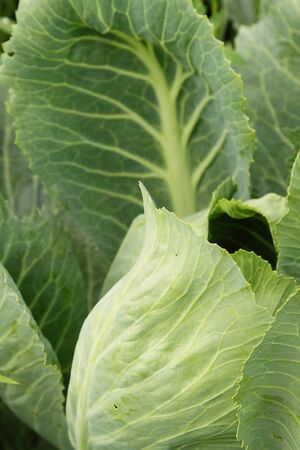 Photo of cabbage in the kitchen garden