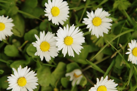 Small white daisies, view from above