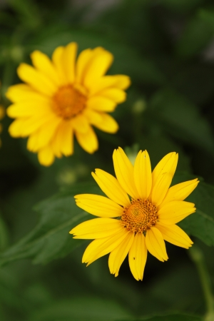 Yellow arnica flowers in a garden