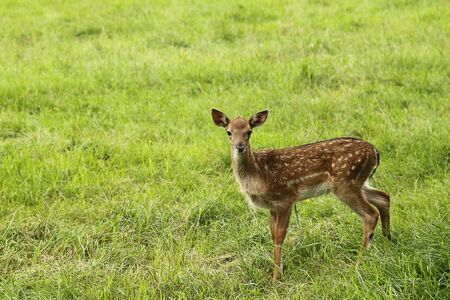 Small doe in zoo over green grass Stock Photo