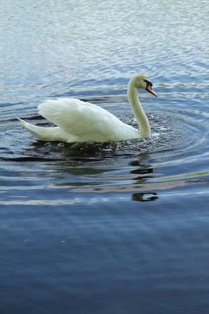 白の青い水の上の白鳥