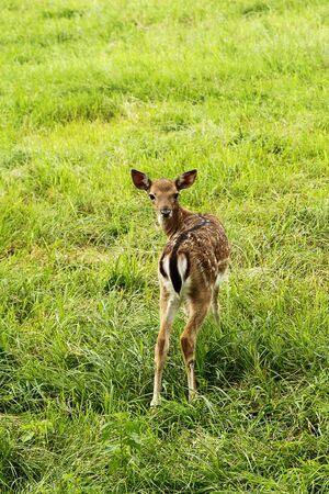 deer  spot: Photo of small doe cub in zoo