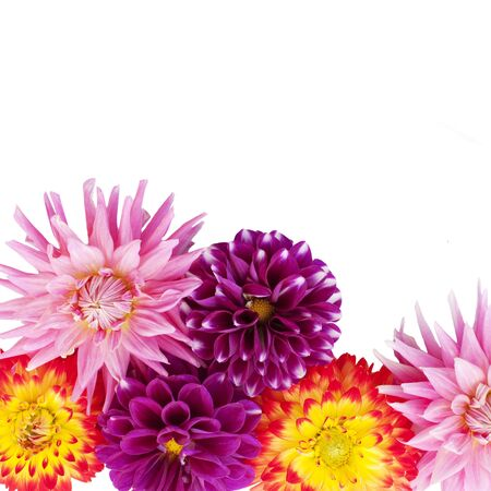 dahlia flowers isolated on a white background