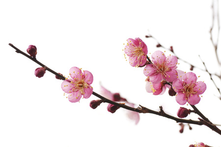 Pflaumenblüte Standard-Bild