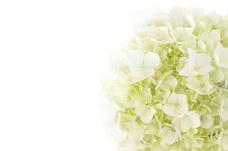 白い背景のアジサイの花 写真素材