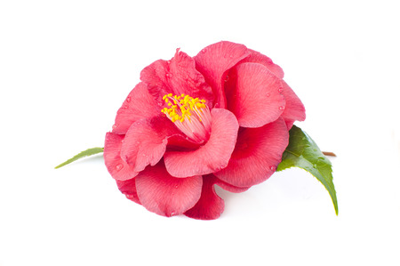 stamens: flowers of camellia isolated on a white background