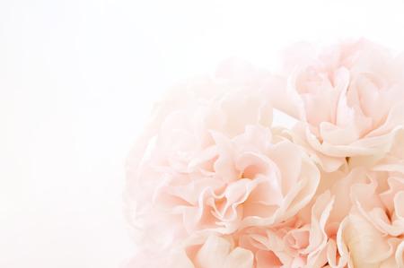 rosa Nelke Blumen
