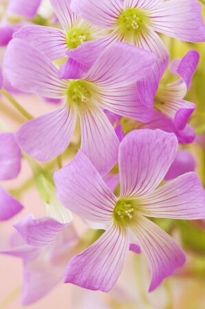 oxalis: floral background of pink oxalis