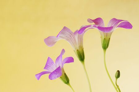 floral background of pink oxalis