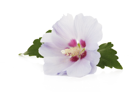 purple flower of Hibiscus syriacus on a white background Stock Photo