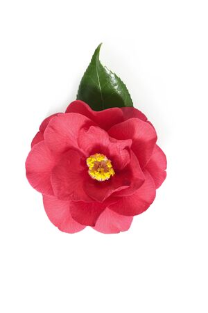 flowers of camellia on a white background