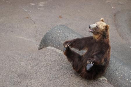 Smiling brown bear in funny posture in Hokkaido,Japan 写真素材