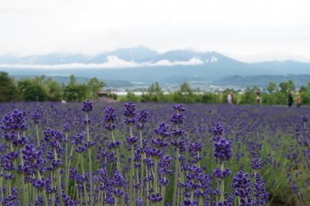 Lavender field in Tomita Farm,Furano,Hokkaido, Japan photo