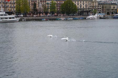 ar: Beautiful white swans ar  Geneva Lake in Switzerland