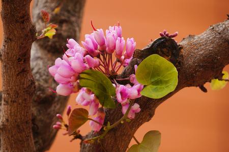 redbud: Closeup of Eastern Redbud tree in spring,Greece,Europe.