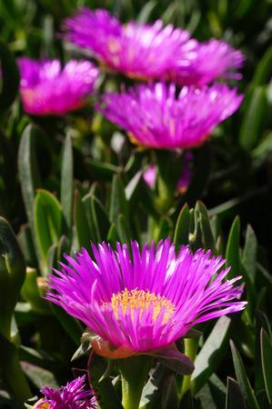 Carpobrotus succulent plant with pink flowers at cape sounion carpobrotus succulent plant with pink flowers at cape sounion in greece stock photo 59595546 mightylinksfo