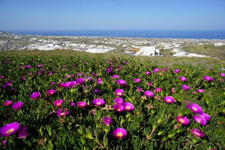 Carpobrotus succulent flowers with Pyrgos village in background,Greece.