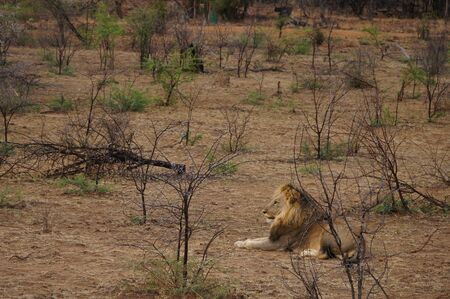 Big Male lion settles down for a rest in Pilanesberg National Park in South Africa. Stock Photo