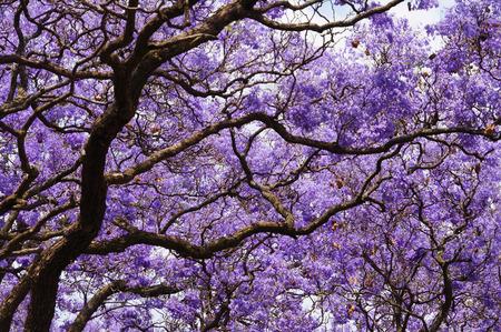 Beautiful violet vibrant jacaranda in bloom. Spring in South Africa. Pretoria.