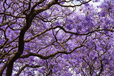 꽃에서 아름 다운 바이올렛 역동적 인 능소화입니다. 남아 프리카 공화국의 봄. 프리토리아.