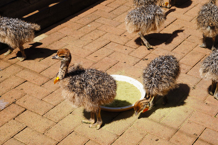 ostrich chick: Cute ostrich chicks in Cape Town, South Africa