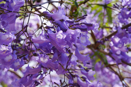 Beautiful violet vibrant jacaranda in bloom. Spring in South Africa. Pretoria.