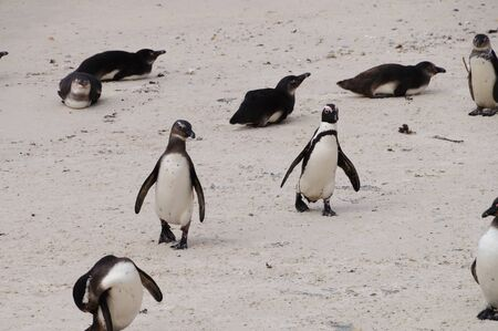 penguins on beach: Penguins at Boulders Beach,Cape Town,South Africa.