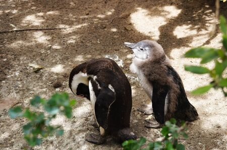 penguins on beach: Cute penguins at Boulders Beach,Cape Town,South Africa.