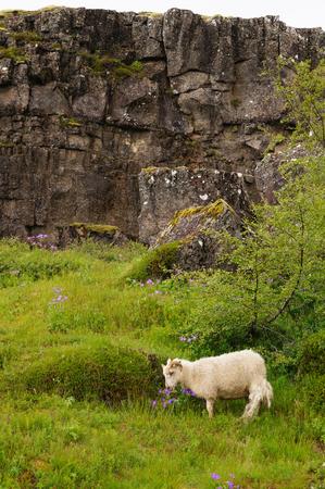 White goat  eating flowers in Thingvellir National Park,Iceland.