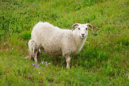White goat in Thingvellir National Park,Iceland.