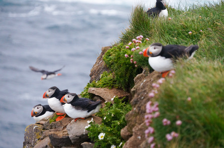 Atlantic Puffin (Fratercula arctica) in Latrabjarg cliffs, Iceland.