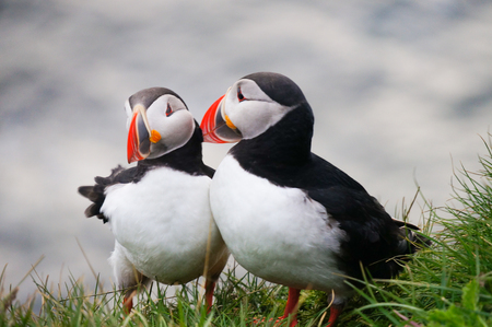 puffin: Atlantic Puffin (Fratercula arctica) in Latrabjarg cliffs, Iceland.