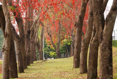 Beautiful Monkey Flower Tree or Fire of Pakistan in February,Thailand.
