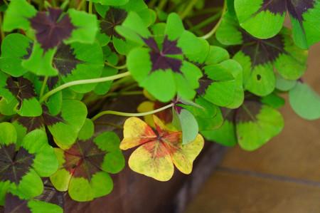 Four-leaf clover or Oxalis tetraphylla (Oxalis deppei) plant in Altai Republic, Russia.