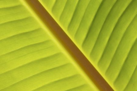 inclined: Palm inclined, Banana Leaf