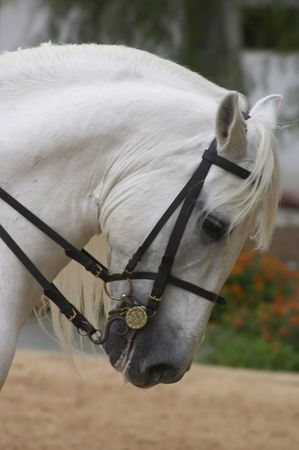 horse pull: Horse in Andalusia, Spain
