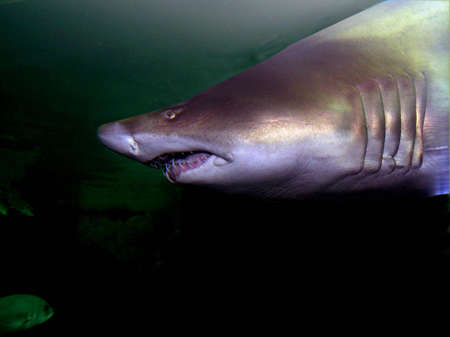 Shark approach  showing its teeth Stock Photo - 528238