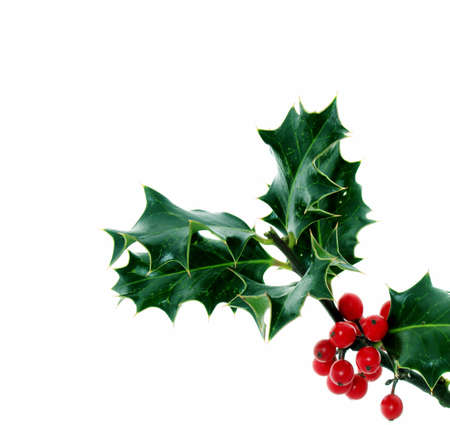 Holly, of all the trees that are in the wood the Holly bears the Crown. Stock Photo