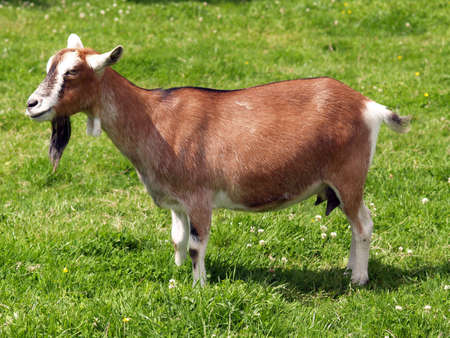 caprine: Brown goat with a beautiful beard