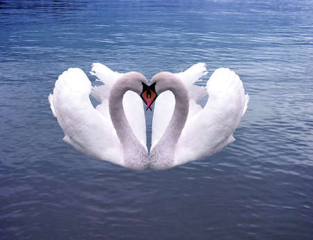 Swans Hearts  on the sea of love forever