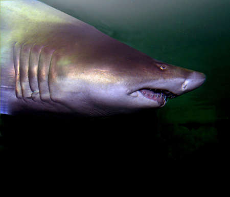 Shark approach  showing its teeth  and friendly smile   Stock Photo - 2301925