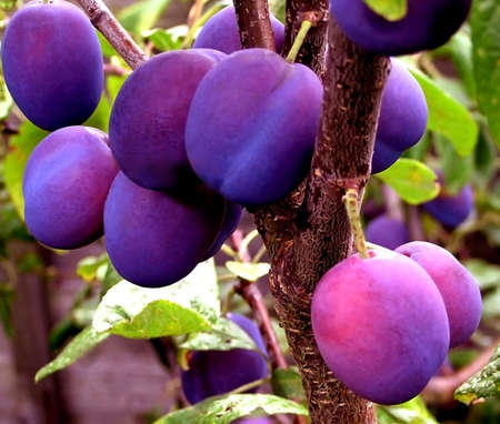 Damson tree with its summer harvest ready