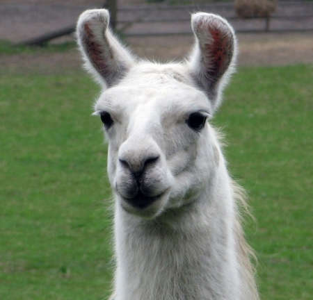Portrait of a llama wide eyed blond Stock Photo