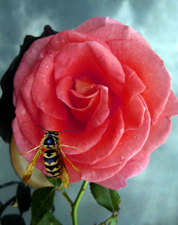Roses in the rain with a wasp checking it out photo