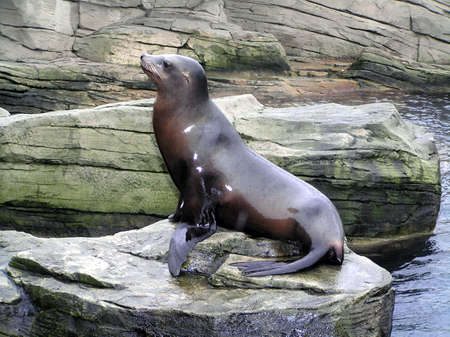 Sea Lion or seal sitting on a rock       Stock Photo