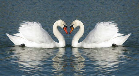 Male and Female swans in a heart shaped embrace photo