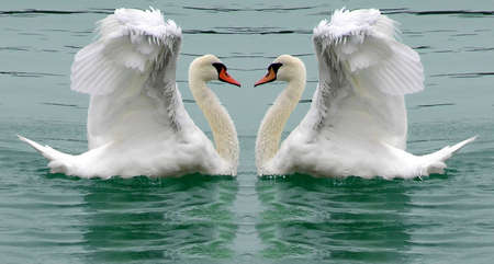 Swans ballet or courting display natures beauty Stock Photo